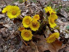 Podběl lékařský je jarní rostlina s jasně žlutými květy a šupinatými stonky. Jarní bylinka roste ve vlhkých a teplých podmínkách, proto se normálně vyskytuje v písku, na podmáčených místech v okrajích lesa, nerovném terénu, stavebních pozemcích a podobně. Podběl obvykle kvete na začátku jara, v březnu a ze začátku dubna, když ještě louky nejsou ani trochu zelené. Plants, Planters, Plant, Planting