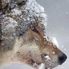 """368 curtidas, 1 comentários - WolvesFanWorld.Com (@wolvesfanworld_com) no Instagram: """"Enjoy Wolves? Visit us in the bio!  Caption the pic! :)"""""""