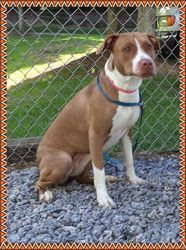 CHOCOLATE is an adoptable Pit Bull Terrier Dog in Marietta, GA. Chocolate is a really sweet girl but right now she's a little scared.� She was just taken from the only home she's known and left here a...