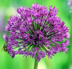 This is a allium. See the bee. This is from List of flowers w/ pics.