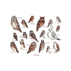 This watercolor painting features the Owls of North America as a field guide chart. It features the following owls: Barn Owl Barred Owl Boreal Owl Burrowing Owl Eastern Screech Owl Elf Owl Ferruginous