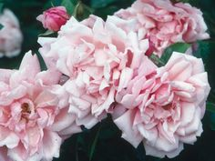 These types of roses climb and drape beautifully on pergolas, arbors, trellises and other structures.