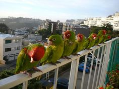 The Wild Parrots of Telegraph Hill!