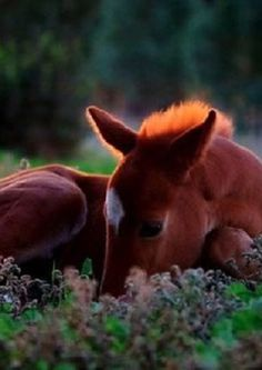 Precious little foal lying down in the dew covered grass. Takes my breath away!