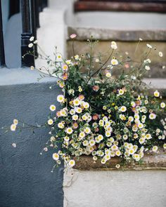 Flower magic. A haze of daisies bursting from a crack in the steps - Hastings Old Town.