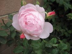 Austin English rose, 'Heritage' my garden
