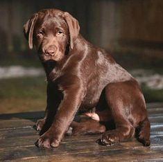 "Check out our internet site for more information on ""labrador retriever dogs"". It is actually an outstanding spot to read more. Raza Labrador, Perro Labrador Retriever, Retriever Puppy, Labrador Puppies, Labrador Retriever Chocolate, Chocolate Lab Puppies, Chocolate Labs, Chocolate Labradors, Beautiful Dogs"