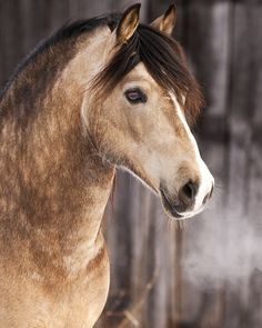 A beautiful buckskin with golden eyes.  Ages ago, when there was a horse with golden eyes, people thought that it was Zeus who had come to earth in the form of a horse, so these horses were always treated well....just in case.