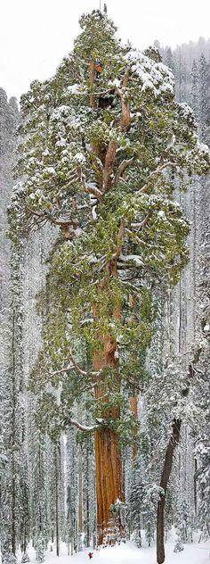 Il Presidente, la terza sequoia piu grande del mondo