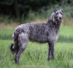 scottish deer hound image - - Yahoo Image Search Results