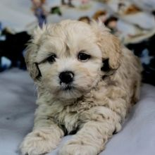 Maltipoo Puppies For Sale Puppyspot Buffalo Designer Dog Puppy Breeder Puppies For Sale At Craigsl In 2020 Maltipoo Puppy Maltipoo Puppies For Sale Dog Breeds Little