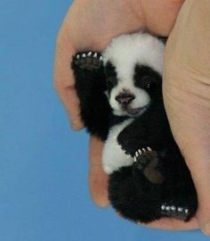 Baby Panda~I don't think he is real, too small.