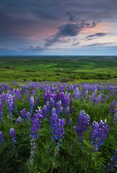 Time flies - Palouse Lupine