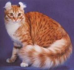 American Curl - Most Affectionate Cat Breeds Fluffy Cat Breeds, Best Cat Breeds, Rare Cat Breeds, Rare Cats, American Curl, Cute Cats And Kittens, Cool Cats, Curl Americano, Gatos Cool
