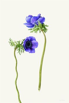 Two anemones (small) kew gardens gift shop illustration анемоны, рис Botanical Flowers, Botanical Prints, Illustration Blume, Botanical Drawings, Garden Gifts, Floral Illustrations, Vintage Flowers, Purple Flowers, Watercolor Flowers