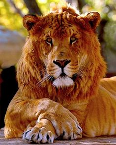64 best tiger lion crosses images in 2018 big cats cutest animals