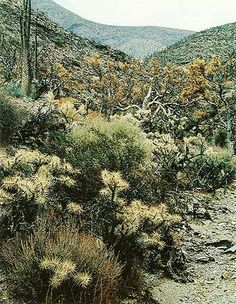Eliot Porter.Road to San Borjas, Arroyo with Cholla and Elephant Trees, Baja California, Mexico, August 5, 1966 su flora