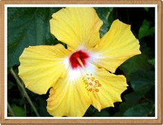 Hawai'i State Flower: Known as the Hibiscus [Hibiscus brackenridgei] or the pua aloalo or ma'o hau hele in Hawaiian translation.