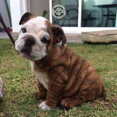 French Bulldog, Dogs, English Bulldogs, Animales, French Bulldog Shedding, Pet Dogs, Bulldog Frances, Doggies, Bulldog French
