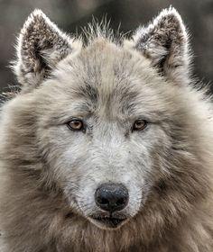 Polar Wolf by yair_leibovich