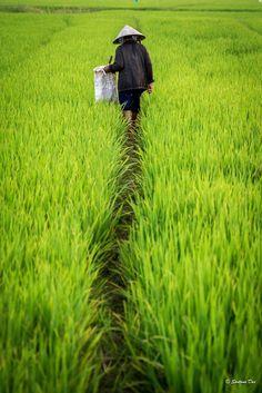 Rice farmer, Hoi An, Vietnam Travel Honeymoon Backpack Backpacking Vacation Vietnam Tours, Vietnam Travel, Vietnam War, Asia Travel, Vacation Travel, Laos, Beautiful Vietnam, Indochine, Art Asiatique