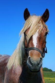 Лошадь, Портрет, Лошади Головы