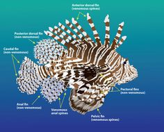 Lionfish use venom as a protective mechanism. When divers come in direct contact with their spines or fins, venom is injected into the skin through needlelike bristles located along the dorsal, pelvic and anal fins.
