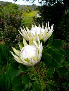 For where Wendy house used to be : Protea Cynaroides white flowerheads King Protea/Honeypot Grootsuikerbossie/Bergroos SA National Flower Flor Protea, Protea Plant, Protea Flower, White Flowers, Beautiful Flowers, Tropical Flowers, African Plants, King Protea, Bonsai Seeds