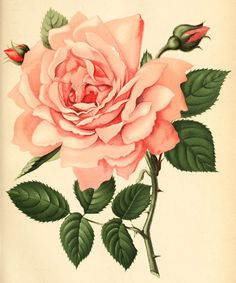 ARTEFACTS - antique images: Pink Rose Bookplate — for personal use only!