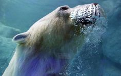 A polar bear, which arrived from Russia last December, is pictured at São Paulo Aquarium April 14, 2015. The polar bears will be presented to the public on Thursday, when a new area of the aquarium will be inaugurated. (
