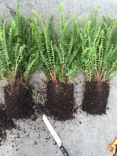 create overflowing window boxes and planters inexpensively: After removing the fern from the plastic pot use a serrated kitchen knife and divide them  into thirds, just cut straight through the roots. They'll be just fine.