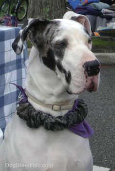Great Dane Information and Pictures, Great Danes