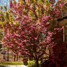 One of our Kwanzan Cherry trees