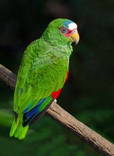 Spectacled amazon [white-fronted amazon or parrot] (LC)