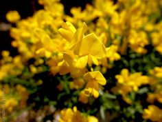 Genista lydia 'Bangle'BANGLE GREENWOOD deciduous flowering  shrubsun10 year size: 2'Hx2'WMoundedSPRING: Yellow flowersNearly leaflessBright green stemsGood for containersDrought & heat tolerantDeer resistant