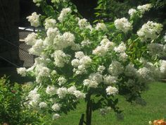My beautiful Peegee Hydrangea