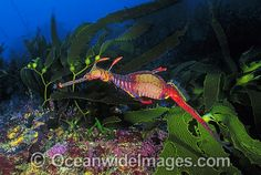 Weedy Seadragon in kelp