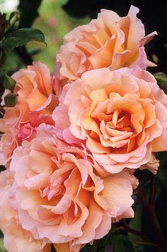 Rosa 'Compassion' Fotografia de John Glover, uno de los primeros y de los mas importantes fotografos de jardin del Reino Unido