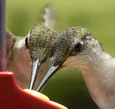 'A rare sight' Hummers are very territorial and do not share well with others.