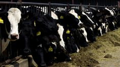 """""""Mad Cow Disease: What You Need To Know Now: The food supply is safe, federal officials say, even though a fourth case of mad cow disease has been discovered in the United States. A 2009 ban on using cattle parts in animal feed may be why cases are so infrequent. [...]"""""""