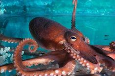 Octopus - photos for multisyllable word practice - Pinned by @PediaStaff – Please Visit ht.ly/63sNt for all our pediatric therapy pins
