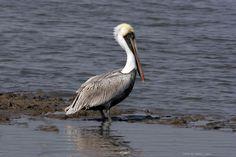 Brown Pelican, Louisiana wildlife