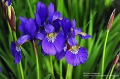 iris siberian hybrid light blue