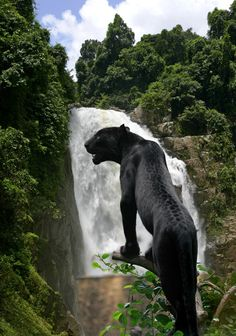 Waterfall backdrop! Makes the big cat look so majestic...