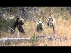 Video: Grizzly Bear Family in Yellowstone: Too Close for Comfort! (BTW. Filmed safely next to a truck)