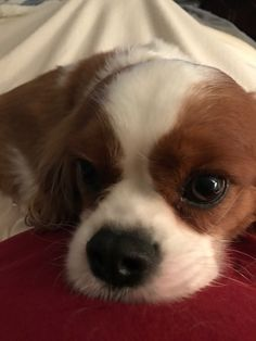 More About Energetic Cavalier King Charles Spaniel Size Cavalier King Charles Spaniel, King Charles Puppy, Spaniel Breeds, Spaniel Dog, Spaniels, Spaniel Puppies For Sale, Cute Dogs And Puppies, Doggies, Animals Beautiful
