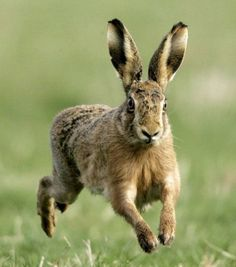 hare image - Google Search