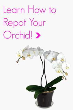 Phalaenopsis Repotting Clinic with Pictures and Step-By-Step Directions!