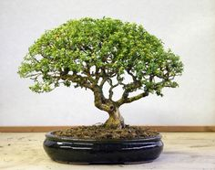 bedroom Learn to care for your Boxwood Bonsai Tree. Learn to care for your Boxwood Bonsai Tree. House Plants, Plants, Boxwood, Bonsai Tree, Bonzai Tree, Japanese Garden, Growing Tree, Small Trees, Miniature Trees