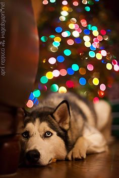 Siberian Husky with Christmas Bokeh
